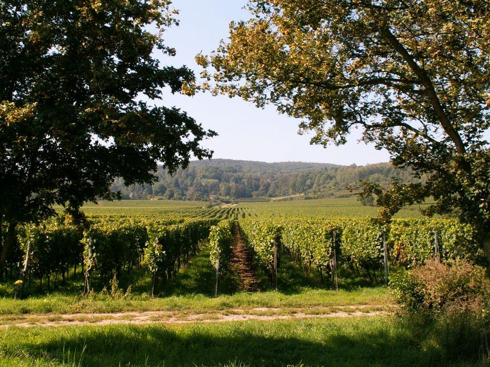 Vinmarker i Pfalz