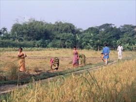 1998-BGL229 Kvinder i rismarkerne