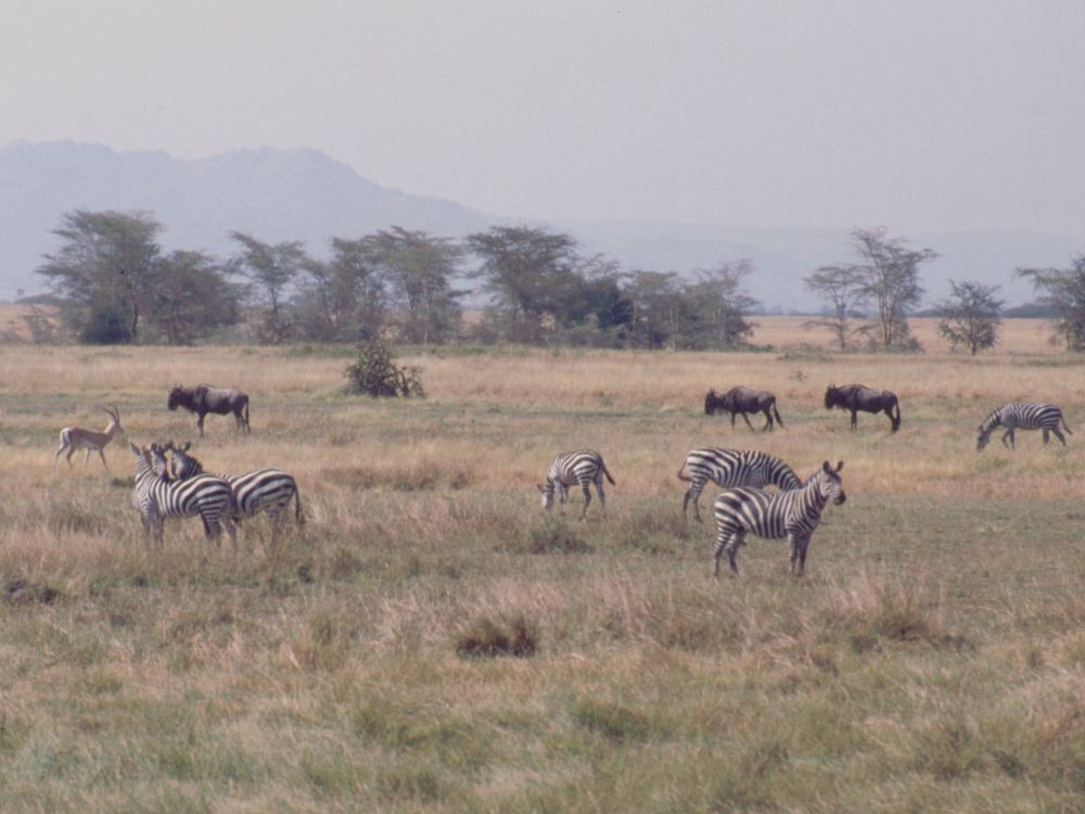 Zebraer, gnuer og en enkelt antilope
