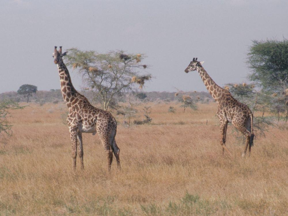 Giraffer i Serengeti