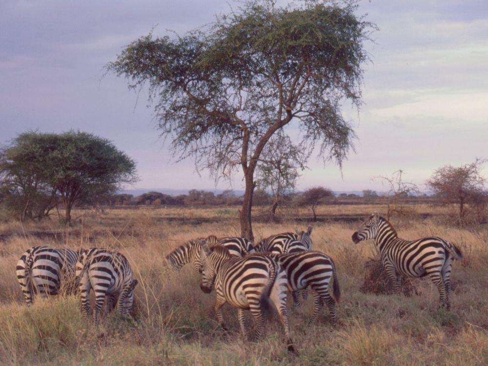 Zebraer en sen eftermiddag