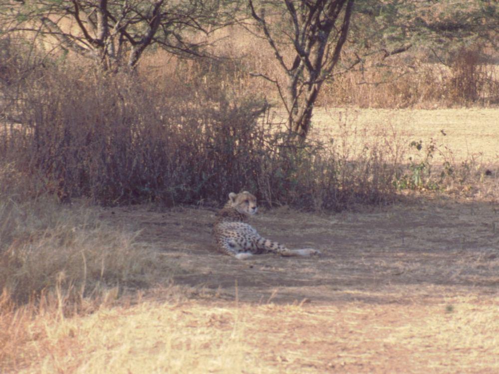 Gepard hviler i skyggen