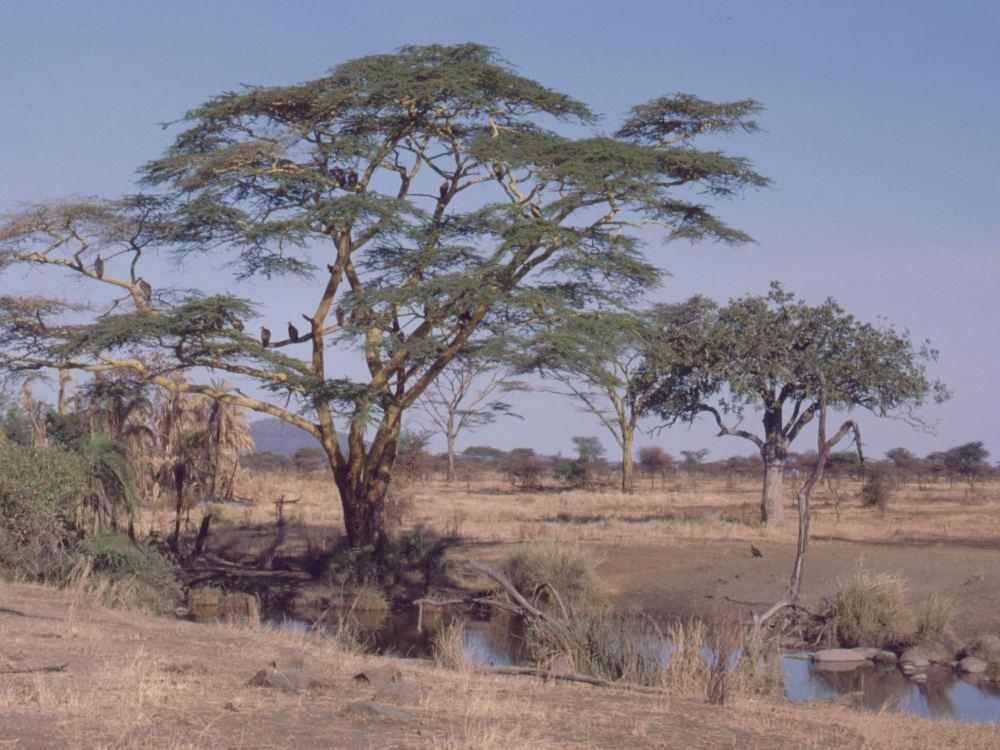 Gribbe på udkig fra et træ