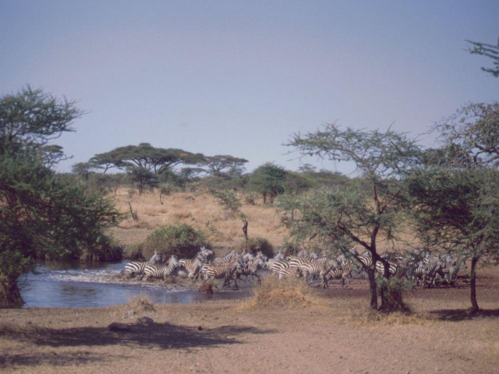 Zebraer ved at vandhul