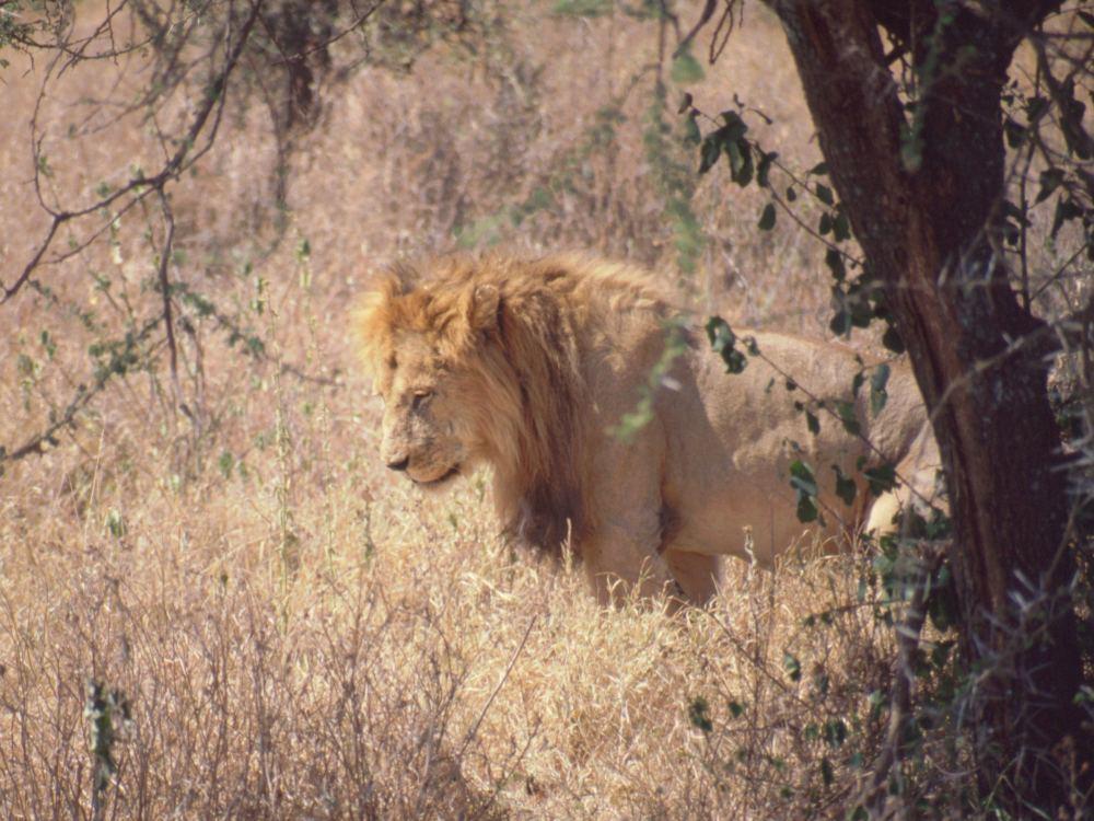 Løven - dyrenes konge