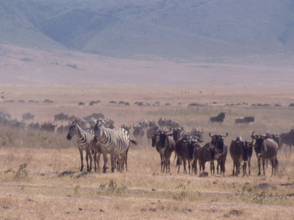 Zebraer og gnuer i Ngorongoro-krateret