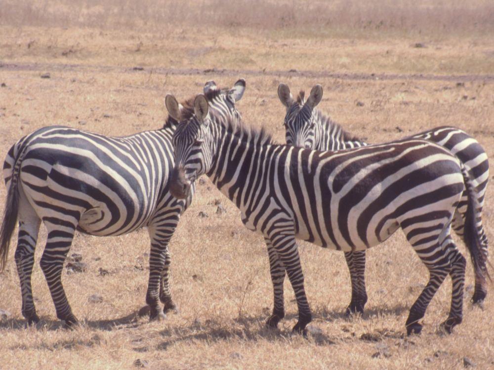 Zebraer i Ngorongoro-krateret
