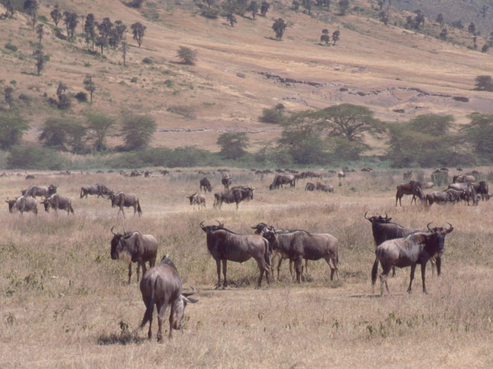Gnuer i Ngorongoro-krateret
