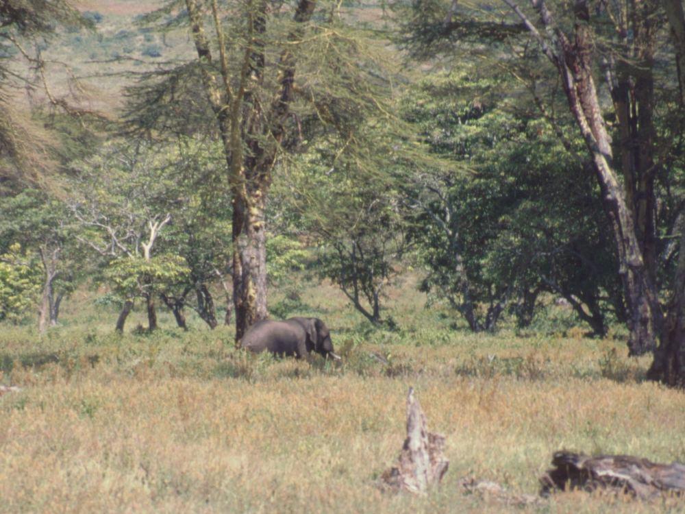 Elefant i Ngorongoro