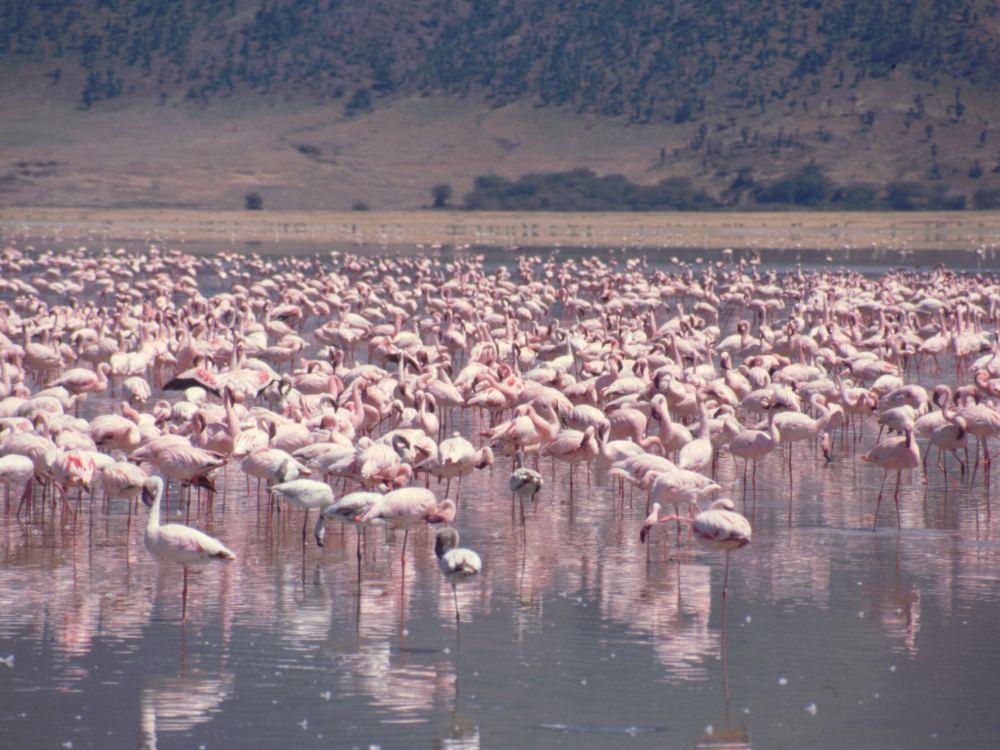 Flamingoer i saltsø i Ngorongoro-krateret