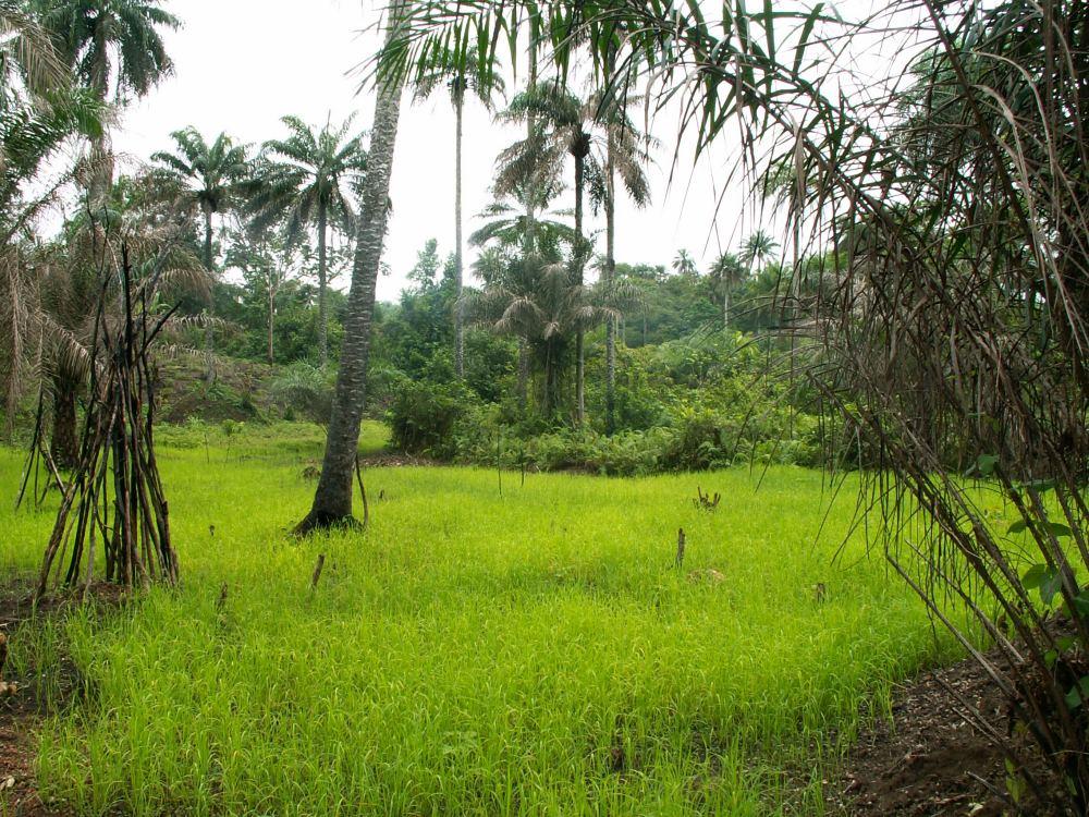 Risen vokser i den afsvedne bush
