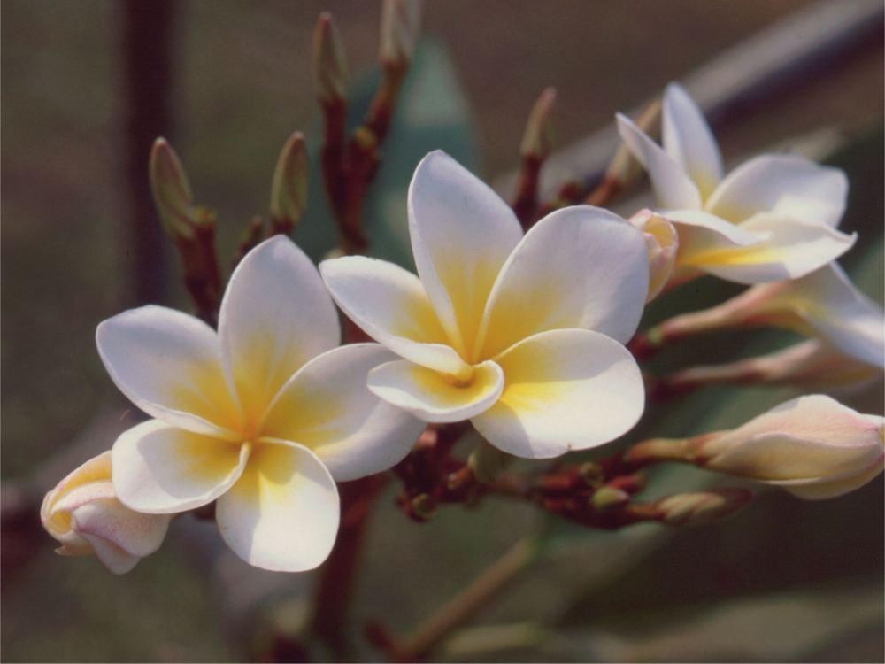 Denne blomst kaldes Duftens Dronning