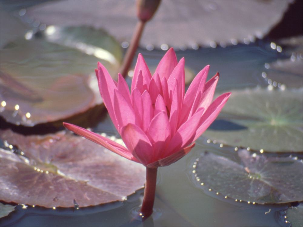 Lotus blomst