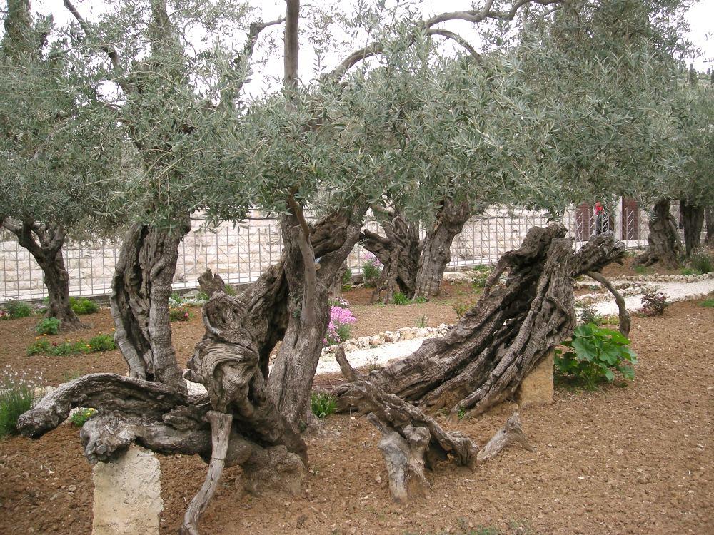 Getsemane haves oliventræer