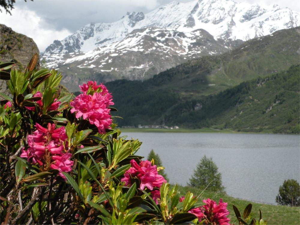 Alperoser i nærheden af St. Moritz