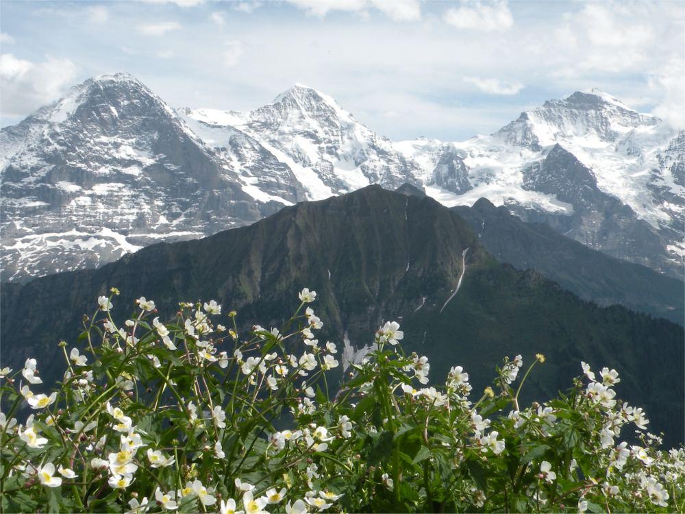 Eiger, Mönch og Jungfrau med Männlichen og blomster set fra Schynige Platte