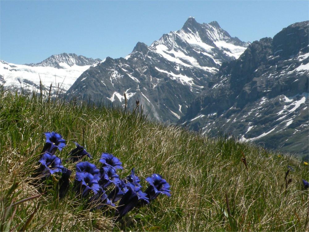 Blå Ensian på skråningen af Männlichen