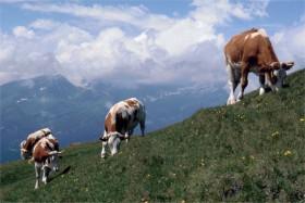 10329 Kvæg Østrig